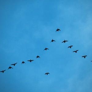 Flyttfåglar på väg i typisk V-formation. Foto: Mixtribe Photo